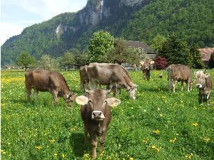 unsere neugierigen Kühe